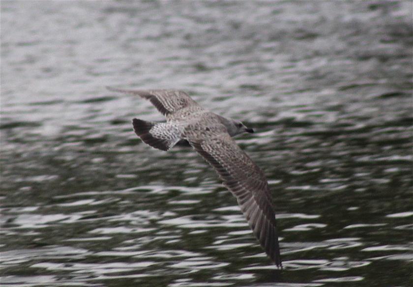 advanced-herring-flight